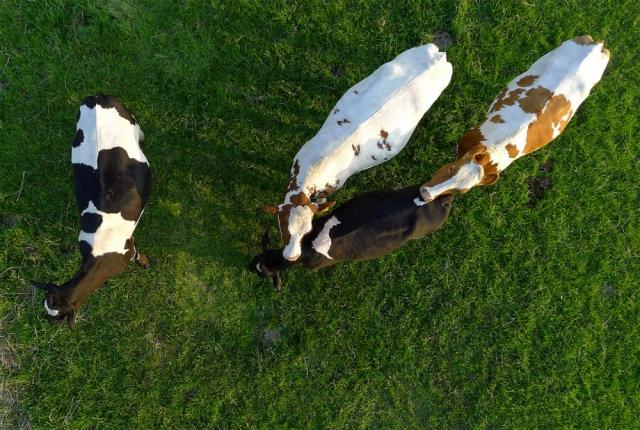 Cows 1 1k wide