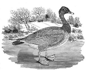 Thomas Bewick goose