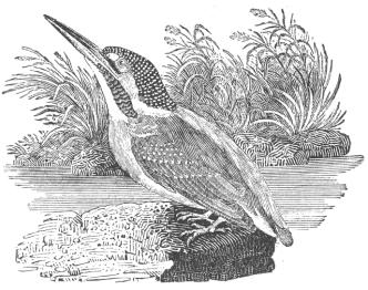Thomas Bewick kingfisher